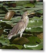 Javan Pond Heron Dthn0071 Metal Print