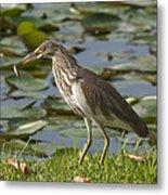 Javan Pond Heron With A Fish Dthn0069 Metal Print