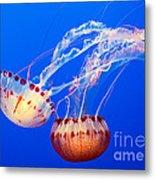 Jelly Dance - Large Jellyfish Atlantic Sea Nettle Chrysaora Quinquecirrha. Metal Print