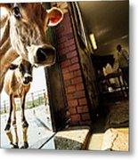 Jersey Cows On An Organic Dairy Farm Metal Print