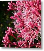 Joe Pye Weed Metal Print