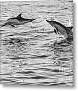 Jump For Joy - Common Dolphins Leaping. Metal Print