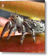 Jumper Spider Metal Print