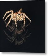 Jumping Spider Metal Print