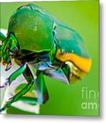 June Bug Fig Beetle Metal Print