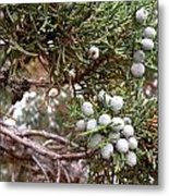 Juniper Berries Ripe Metal Print