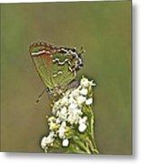 Juniper Or Olive Hairstreak Butterfly - Callophrys Gryneus Metal Print