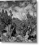 Juniper Trees At The Ghost Ranch Black And White Metal Print