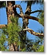 Just A Tangle Of Pine Tree Branches Metal Print