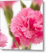 Just Carnations Metal Print