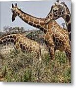 Just Giraffes Metal Print