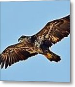 Juvenile Bald Eagle In Flight Close Up Metal Print