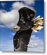 Juvenile Bald Eagle Metal Print