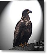 Juvenile Bald Eagle Year 1 Metal Print