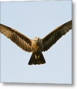Juvenile Brahminy Kite Hovering Metal Print by Tim Gainey