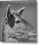Juvenile Deer Close-up V2 Metal Print