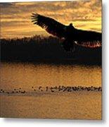 Juvenile Eagle Golden Sunset Metal Print