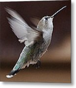 Juvenile Female Anna's Hummingbird In Flight Metal Print