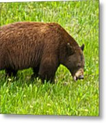 Juvenile Grizzly Bear In Kootenay Np-bc Metal Print