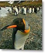 Juvenile King Penguin Metal Print