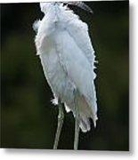Juvenile Little Blue Heron On Sign Metal Print