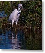 Juvenile Little Blue With Lobster 1 Metal Print