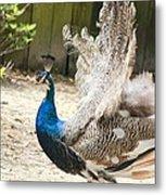 Juvenile Peacock Metal Print