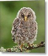 Juvenile Ural Owl Metal Print