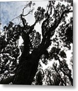 Kahikatea New Zealand Native Tree Metal Print