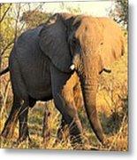 Kalahari Elephant Metal Print