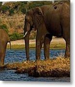 Kalahari Elephants Preparing To Cross Chobe River Metal Print