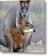 kangaroo Snack Metal Print