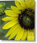 Kansas State Flower Metal Print