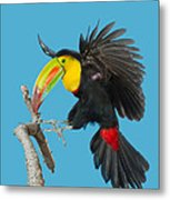 Keel-billed Toucan About To Land Metal Print