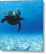 Keiki Turtle Metal Print