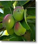 Kelowna Apples I Metal Print