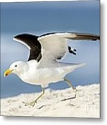 Kelp Gull Taking Off Metal Print