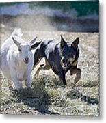 Kelpie Dog Metal Print