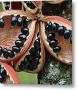 Kelumpang Sarawak Fruit Seeds Sepilok Metal Print