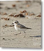 Kentish Plover Metal Print