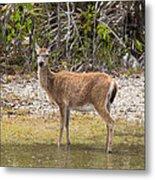 Key Deer Portrait Metal Print
