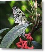 Key West Butterfly Conservatory - Idea Leuconoe Metal Print