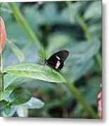 Key West Butterfly Conservatory - In Black White And Orange Metal Print