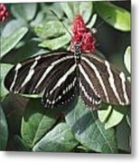 Key West Butterfly Conservatory - Zebra Heliconian Metal Print