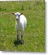 Kid Goat Metal Print