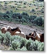 Kiger Mustangs At Mineral And Water Source Metal Print