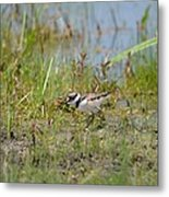 Killdeer Hatchling Metal Print