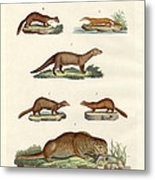 Kinds Of Otters And Marten Metal Print