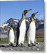 King Penguins St Andrews Bay South Metal Print
