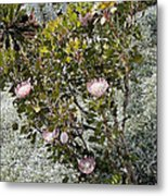King Protea Bush 1 Metal Print